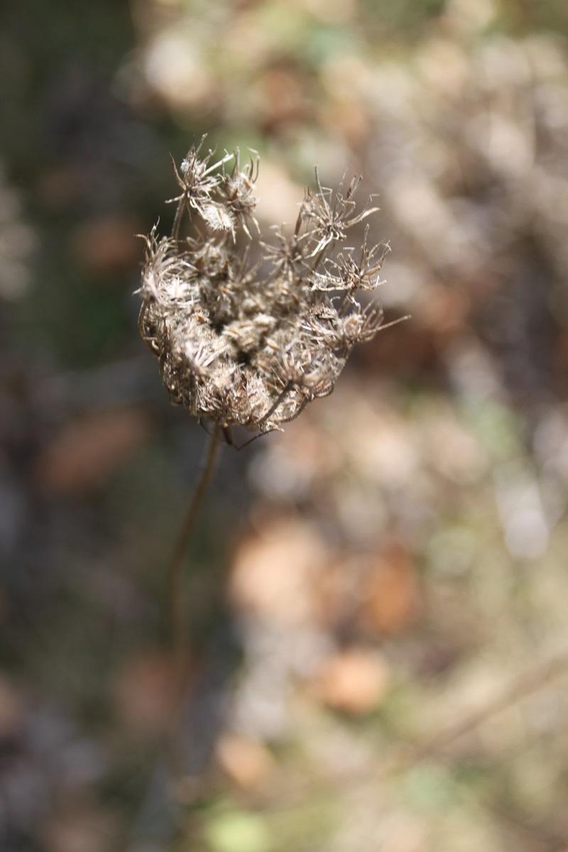 Carotte sauvage Daucus carota